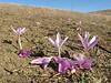 Colchicum lusitanicum (Larache - Cap Spartel - Grottes d'Hercule)