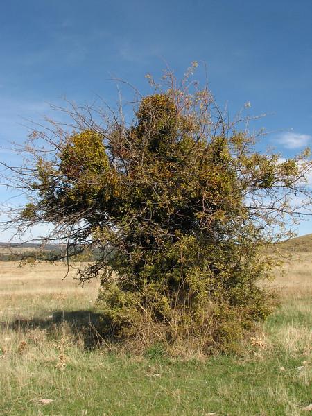 Viscum cruciatum (Mistletoe) on Crataegus spec. (Fes - Imouzzer-Kandar - Ifrane - Azrou -7-(foret de Cedrus)- Ain-Leuh - El-Hajeb - Boufakrane)