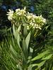 Daphne gnidium (Chefchaouen -6- Quazzane - Ain-Defali - Douyet - Fes)
