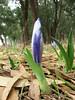 Iris planifolia in bud (Larache -12- Asilah - Grottes d'Hercule)