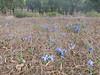 habitat of Iris planifolia (Larache -12- Asilah - Grottes d'Hercule)