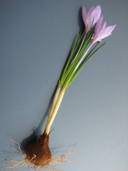 bulb of Crocus serotinus ssp. salzmannii (for identification purposes only)