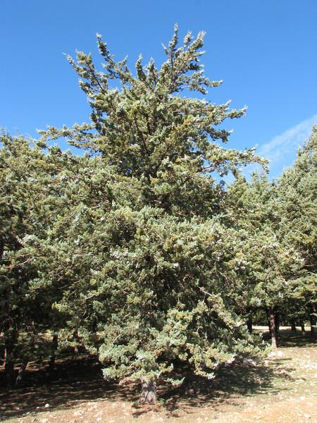 fruit of Cupressus atlantica (Fes - Imouzzer-Kandar - Ifrane - Azrou - Ain-Leuh - El-Hajeb - Boufakrane)
