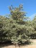 Cupressus arizonica s.l.
