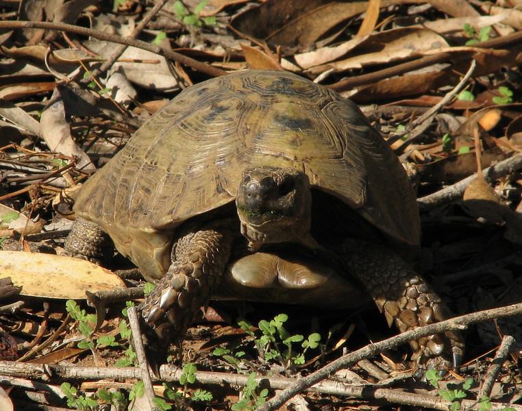 Testudo graeca, Spur-thighed Tortoise,(NL: Moorse landschildpad)