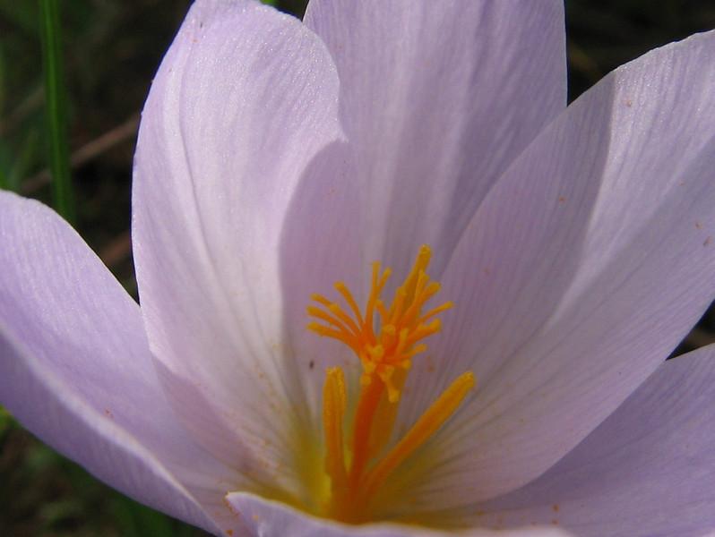 flower of Crocus serotinus ssp. salzmannii (Boufakrane - Meknes - Khemisset - Tiflet - Zemmour - Si-Allal-el-Bahraoui -8- Kenitra - Sale - Allal-Tazi - Souk-Telata-du-Rharb - Ksar-el-Kebir - Larache)