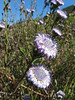 Globularia alypum (Chefchaouen - Talembote - Et-Tlera-de-Qued-Lau - Bou-Ahmed -4- Bab-berret - Bab-Taza - Chefchaouen)