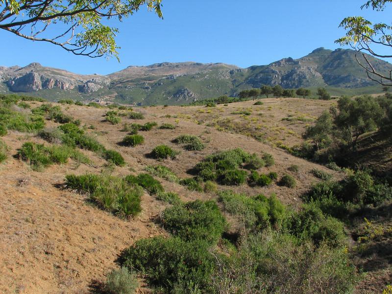 Chamaerops humilis in the Rif mountains (Tetouan -1- Dar-Ben-Karriche-El-Bari - Zinat - Chefchaouen)