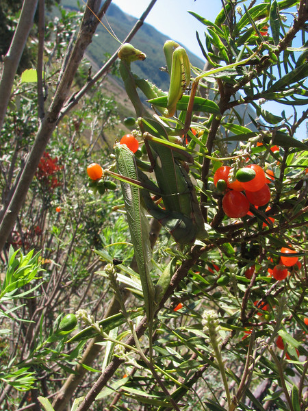 Mantis religiosa (bidsprinkhaan)Daphne gnidium,  (Tetouan -1- Dar-Ben-Karriche-El-Bari - Zinat - Chefchaouen)