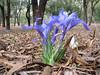 Iris planifolia (Larache -12- Asilah - Grottes d'Hercule)