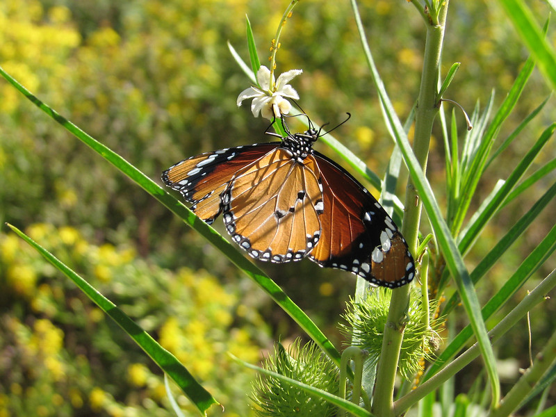 Danaus chrysippus (NL: kleine monarch)(Plain Tiger) on Gomphocarpus fruticosus