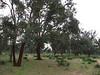 peeled trunks of Quercus suber (Boufakrane - Meknes - Khemisset - Tiflet - Zemmour - Si-Allal-el-Bahraoui -8- Kenitra - Sale - Allal-Tazi - Souk-Telata-du-Rharb - Ksar-el-Kebir - Larache