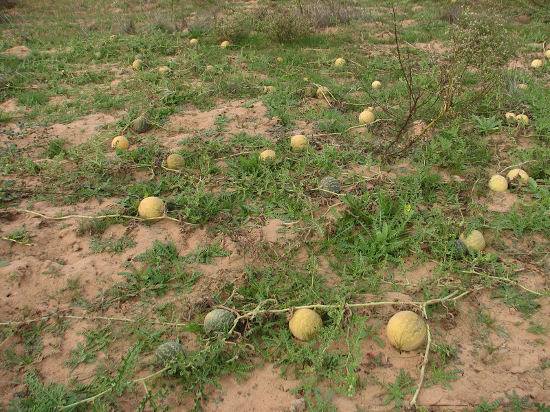Citrullus colocynthis (syn. Colocynthis vulgaris), Bitter Cucumber (Boufakrane - Meknes - Khemisset - Tiflet - Zemmour - Si-Allal-el-Bahraoui -8- Kenitra - Sale - Allal-Tazi - Souk-Telata-du-Rharb - Ksar-el-Kebir - Larache)
