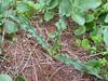 the leafs of Drimia undata, (Goldblat) formerly Urginea undulata (Boufakrane - Meknes - Khemisset - Tiflet - Zemmour - Si-Allal-el-Bahraoui - Kenitra - Sale - Allal-Tazi - Souk-Telata-du-Rharb - Ksar-el-Kebir -11- Larache)