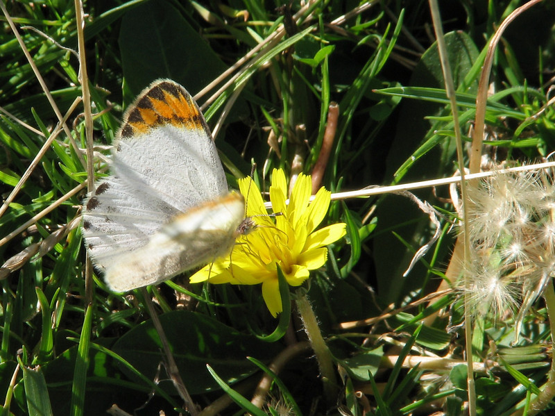 Colotis evagore (Desert Orange Tip)