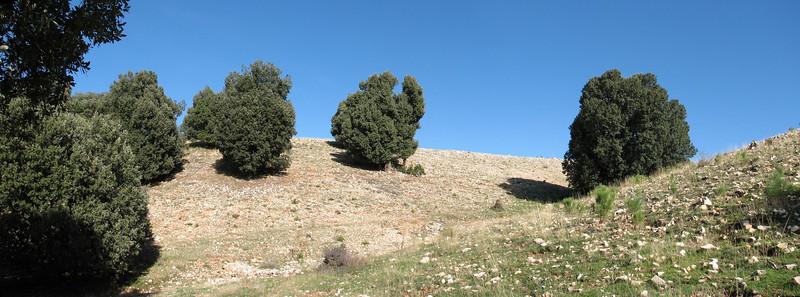 Quercus ilex trees