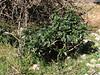 Daphne laureola ssp. latifolia (Fes - Imouzzer-Kandar - Ifrane - Azrou -7-(foret de Cedrus)- Ain-Leuh - El-Hajeb - Boufakrane)