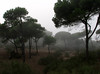 humid cloudes in coastal forest (Pinus pinea) of Larache