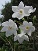 Narcissus papyraceus (Boufakrane - Meknes - Khemisset - Tiflet - Zemmour - Si-Allal-el-Bahraoui -9- Kenitra - Sale - Allal-Tazi - Souk-Telata-du-Rharb - Ksar-el-Kebir - Larache)