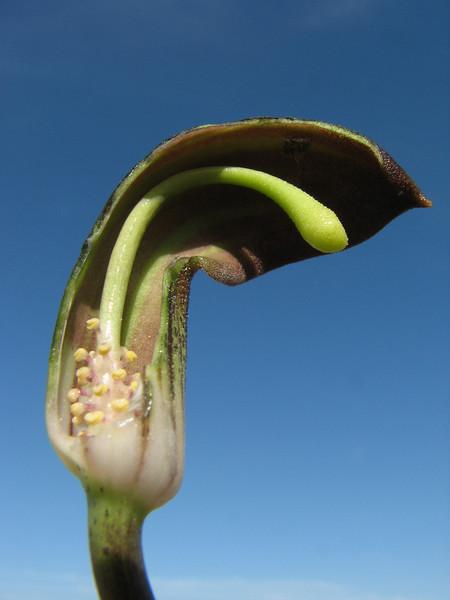 flower of Arisarum vulgare (Araceae) (Larache - 14 - Cap Spartel - Grottes d'Hercule)