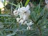 Gomphocarpus fruticosus (Tanger-Seba-Tetouan)