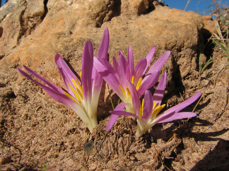 Merendera filifolia (Chefchaouen - Talembote - Et-Tlera-de-Qued-Lau - Bou-Ahmed -4- Bab-berret - Bab-Taza - Chefchaouen)