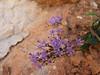 Trachelium caeruleum (Tetouan - Dar-Ben-Karriche-El-Bari - Zinat -3- Chefchaouen)