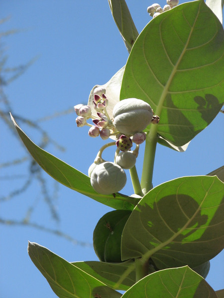 Calotropis procera, Crown Flower