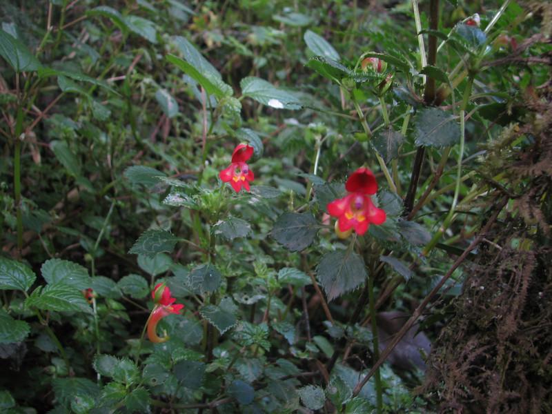 Impatiens kilimanjari (Kilimanjaro endemic spec.)