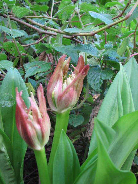 Crinum bubispermum (amaryllis), Kilimanjaro