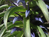 Lobelia spec. (forestplant)