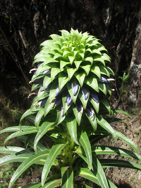 Lobelia deckenii (border tropical forest, Kili)