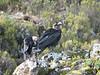 Corvus albicollis, white-necked Raven (Shira plateau Kilimanjaro )