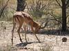 Aepyceros melampus, (African Impala, adult male)