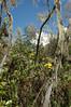 Crassocephalum mannii (Kilimanjaro)