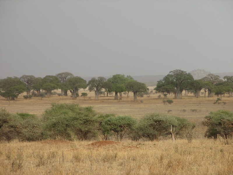 habitat of Adansonia digitata,   Baobab tree