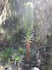 Lobelia spec. (forest plant)