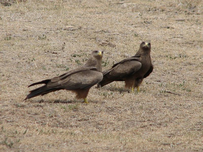 Milvus migrans,  black kite