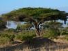 Acacia abyssinica, flat-top acacia