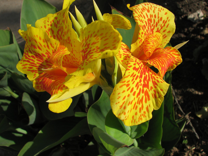 Canna indica (native to tropical America)