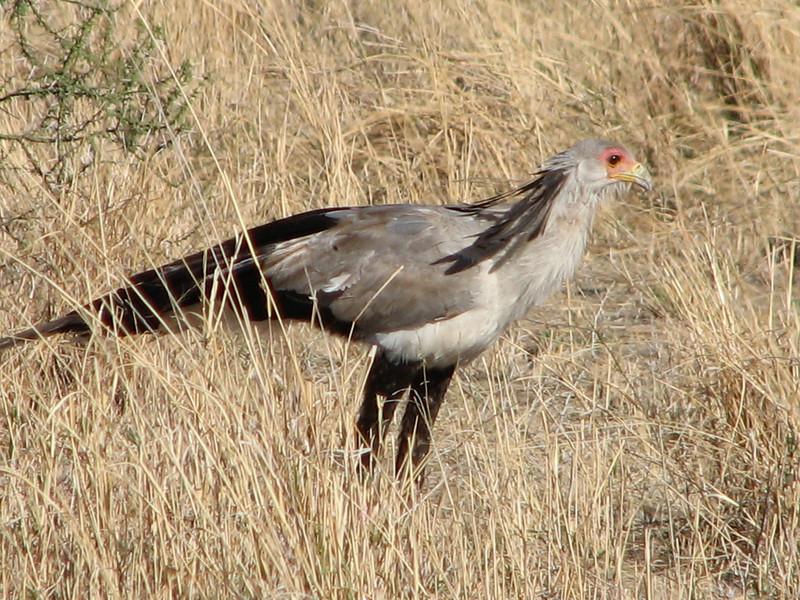 Sagittarius serpentarius,  secretarybird