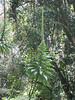 Lobelia gibberoa (Kilimanjaro tropical forest)