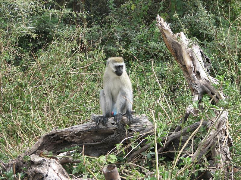 Cercopithecus aethiops, Vervet Monkey