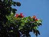 Spathodea campanulata (African tulip tree