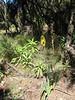 Kniphofia thomsonii (yellow coloured form)
