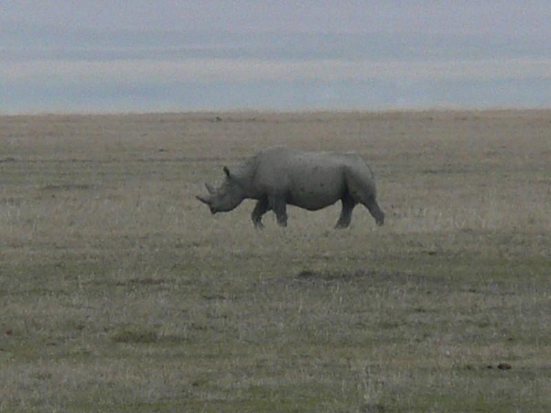 Diceros bicornis, Black Rhino