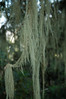 Usnea spec. Bearded Lichen, tropical forest Kili