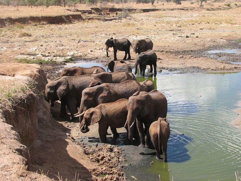 Loxodonta africana,   African elephant, Tarangire National Park