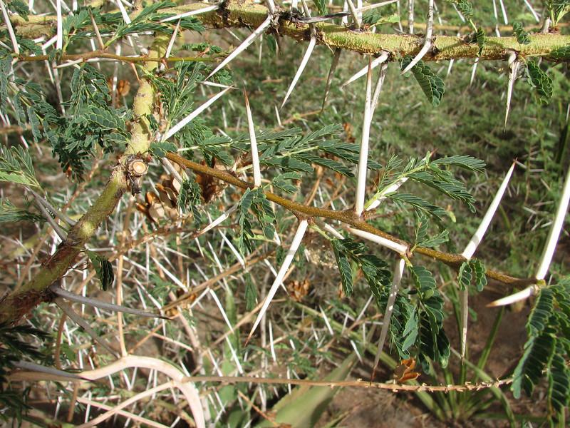 Acacia xanthophloea, fever tree
