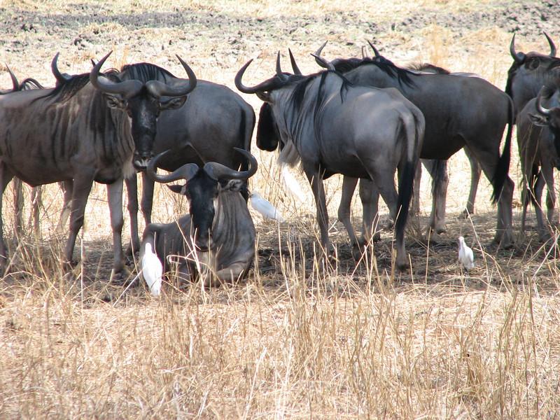Connochaetes gnou, Wildebeest